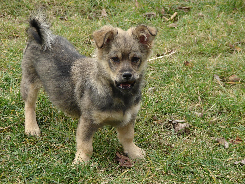 W superbly pies, piesek, kundelek, oddam za darmo w dobre ręce - Hażlach YI68